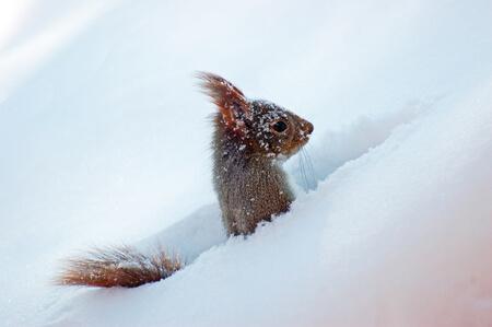 eekhoornt winter
